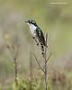 Diederik Cuckoo. adult male.
