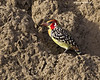 Red -and-yellow Barbet.