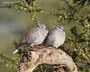 Ring-necked Doves.