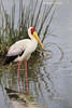Yellow-billed Stork .