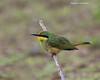 Little Bee-eater, juvenile.