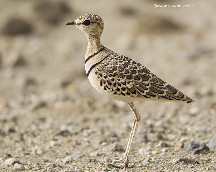 Two -banded Courser very close.