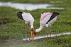 Yellow-billed storks . Mated pair.