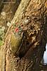Nubian Woodpecker , female.
