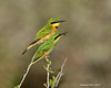 Little Bee-Eater. male with female.