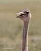 Ostrich portrait. female.