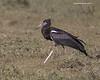 Abdim's  Stork.