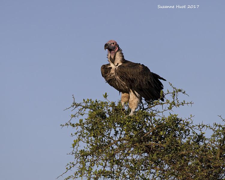 Lappet -faced Vulture