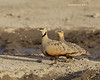 Yellow-bellied Sandgrouse pair.