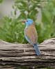 Blue-capped Cordon-bleu, male
