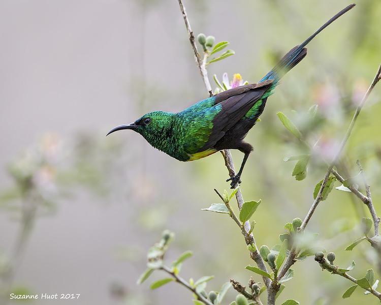 Beautiful Sunbird ?