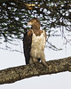 Martial Eagle . Adult