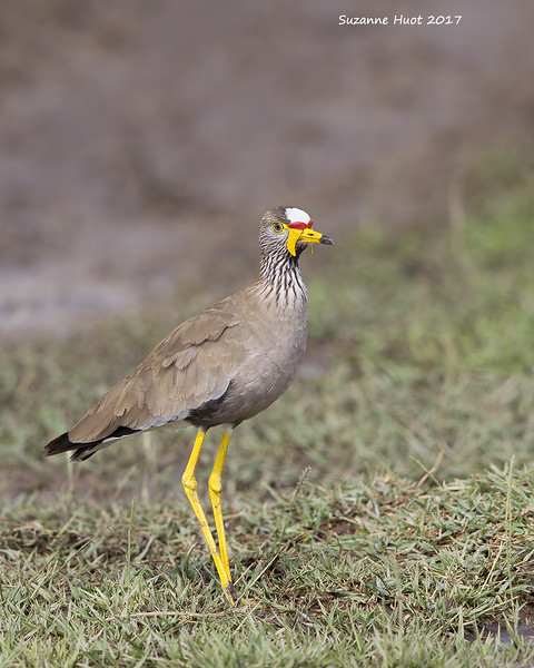 African Wattled Plover