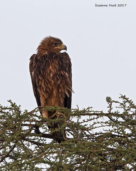 Eagle , needs I.D.