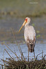 Juvenile Yellow-billed Stork.