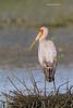 Juvenile Yellow-billed Stork.