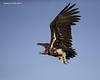 Lappet-faced Vulture in flight.