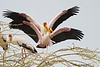 Yellow-billed Storks mateing