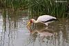 Yellow-billed Stork foraging.