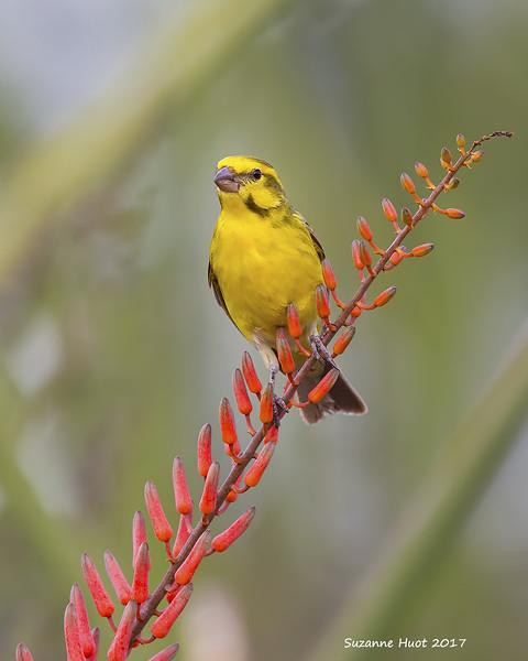 Weaver female