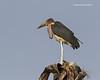 Marabou Stork atop a Palm tree