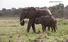 Nursing Elephant calf