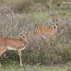 Steenbok , male and female in the foreground.