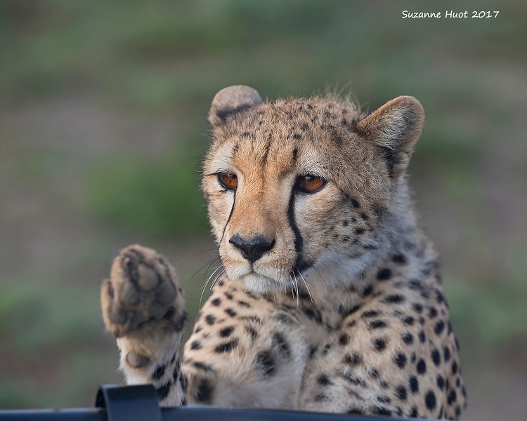 May I come on  the game drive please?
