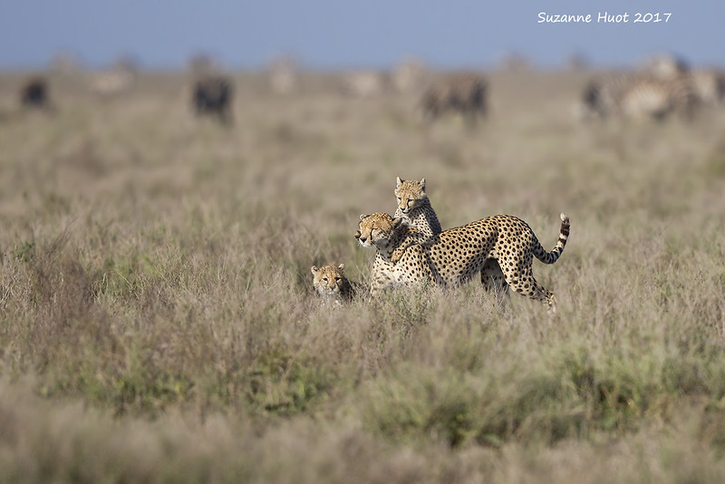 Zebras and Wildebeest  in the background  are watching  the cheetah family in front of them .<br /> At this point they are quite safe as her four cubs were  keeping her otherwise occupied playing.