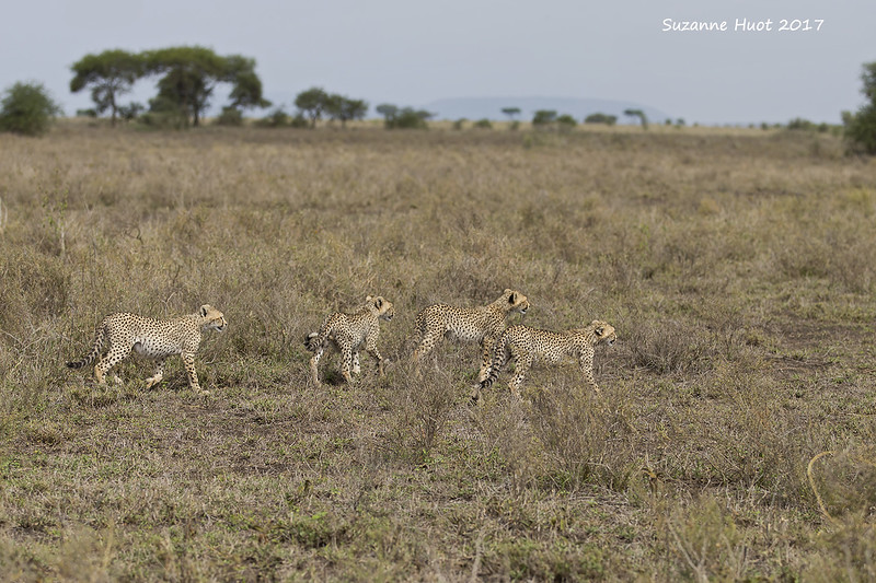 Four cubs  following Mother
