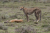 Cheetah with Gazelle kill.