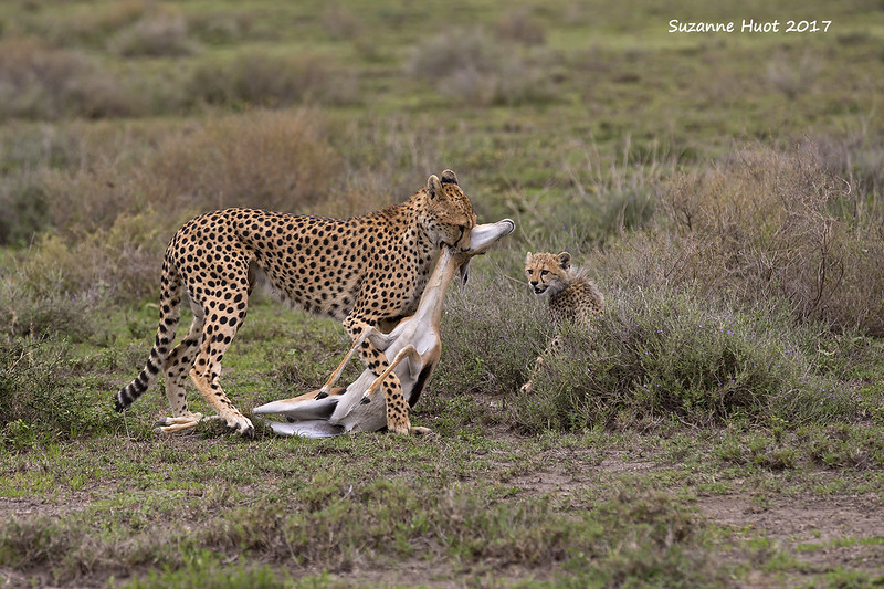 Cheetah with her kill