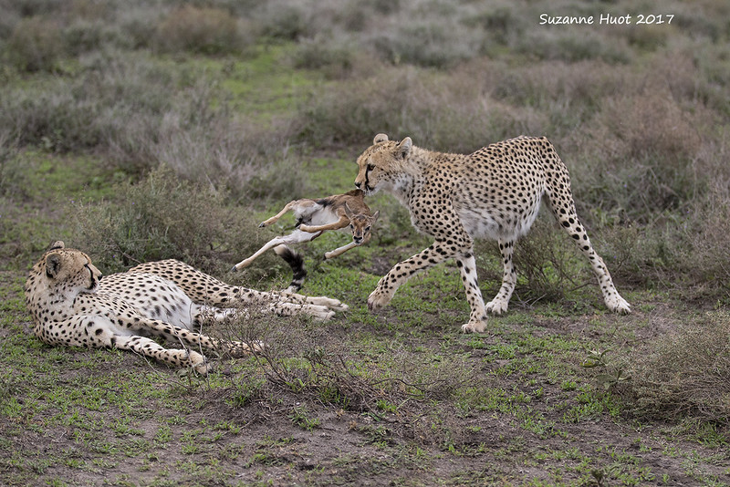 Mother cheetahs teach their young to hunt and kill.<br /> Starting off by either killing an adult Gazelle and  fawn. Sometimes if she has a newborn fawn will leave the fawn alive then present it to her cubs who will then play with it  and eventually , hopefully learn to kill it the correct way before  consuming it.<br /> Unfortunately this is part of natures way.