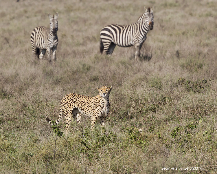 Zebras  watching Cheetah