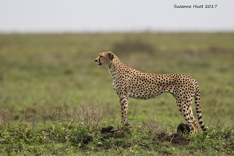 Cheetah scanning for game