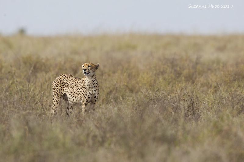 Cheetah out on the Savanah