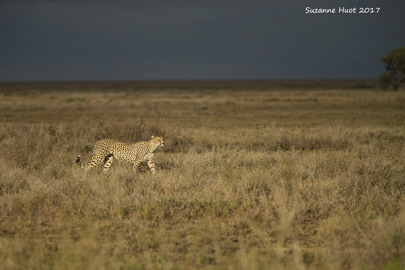 Cheetah  with storm brewing