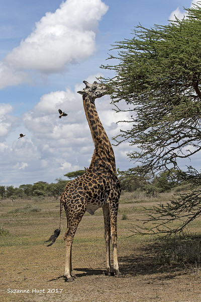 Masai giraffe and friends