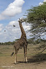 Masai giraffe and friends