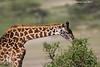 Masai Giraffe browsing