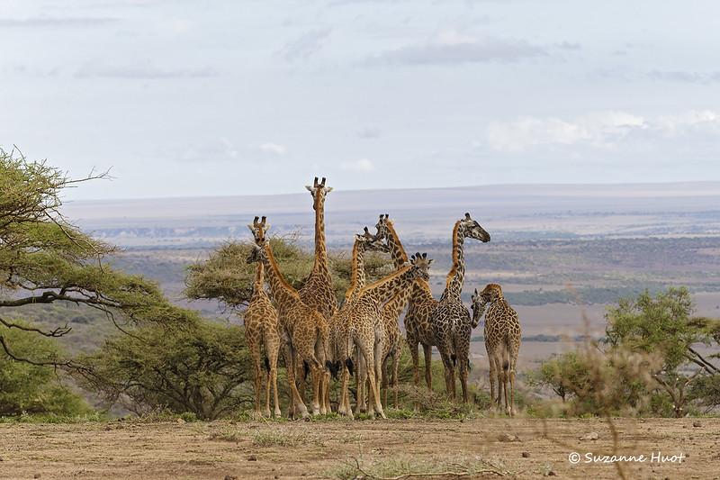 Ngorongoro  are a Giraffe scape