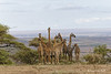 Ngorongoro  are a Giraffe scape
