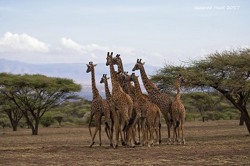 Herd of Masai Giraffe