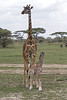 New born Masai Giraffe