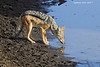 Thirsty Black-backed Jackal