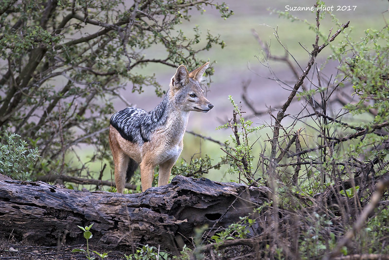 Black-backed Jackal at daybreak