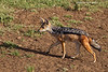 Black -backed Jackal