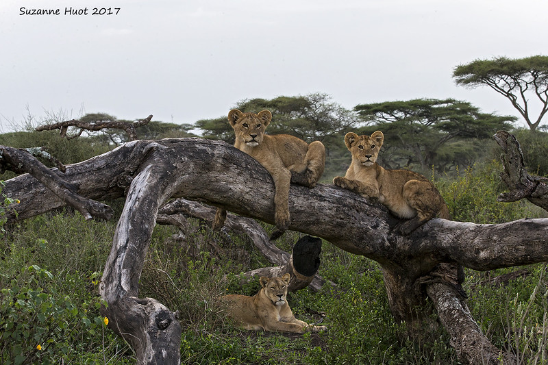 Lioness with her two cubs