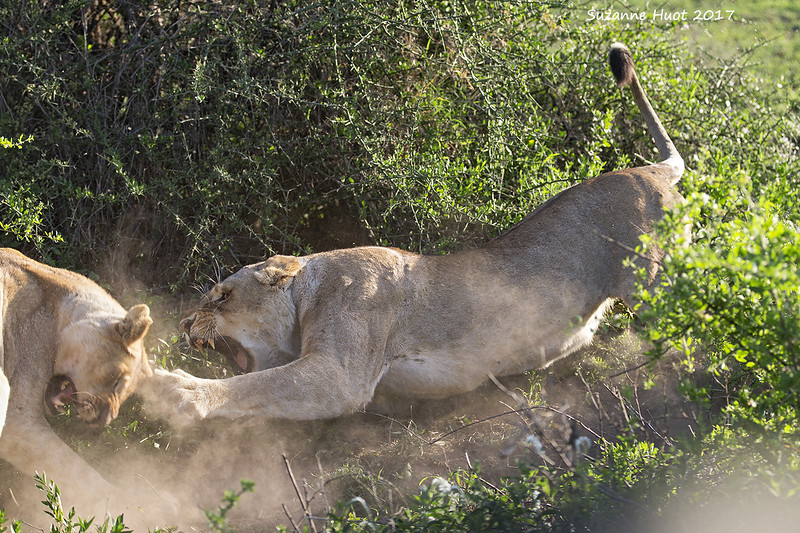 Lioness warning off a younger Sibling
