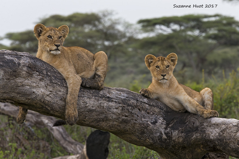 The Lake Masek pride  enjoy tree climbing almost every day.<br /> the cubs were becoming quite expert at it and would spend a lot of time in them.